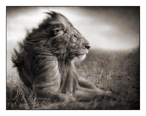 004_Lion-Before-Storm-II---