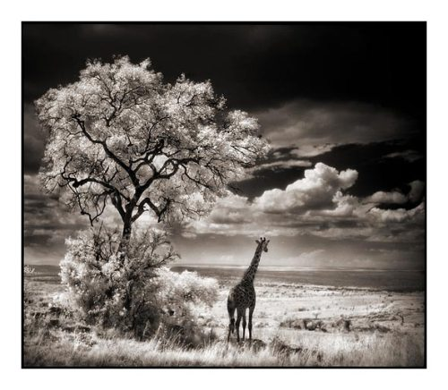 008_Giraffe-Looking-Over-Plains