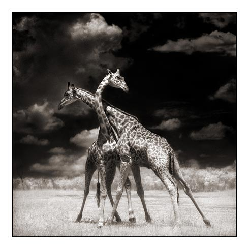 06_Two-Giraffes-Battling-In-Su