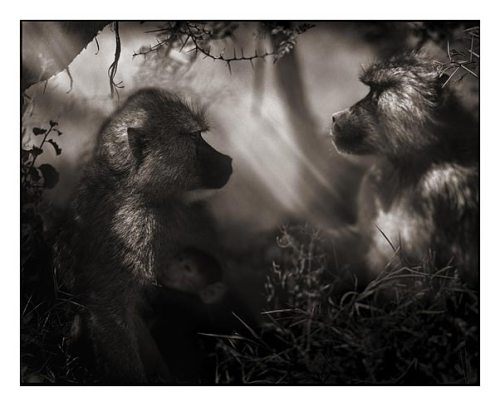 11_Baboons-in-Profile